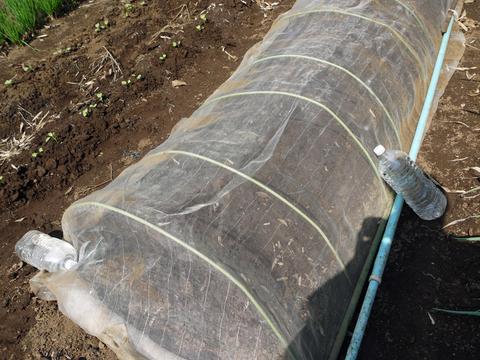 ニンニク発芽、春キャベツ種蒔き、大根のネット撤去9・25_c0014967_1205713.jpg
