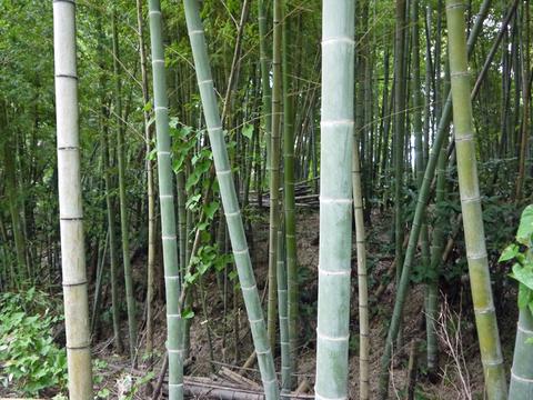 「孟宗1本、真竹は2本」県民参加の森林づくり事業で違い明確_c0014967_17383398.jpg