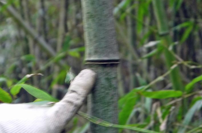 「孟宗1本、真竹は2本」県民参加の森林づくり事業で違い明確_c0014967_17384251.jpg