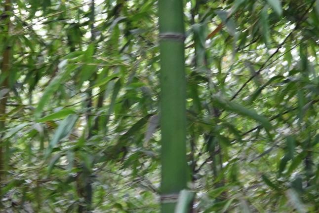 「孟宗1本、真竹は2本」県民参加の森林づくり事業で違い明確_c0014967_1738544.jpg
