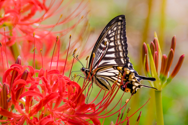 9月に写した蝶の写真_d0001300_21562624.jpg