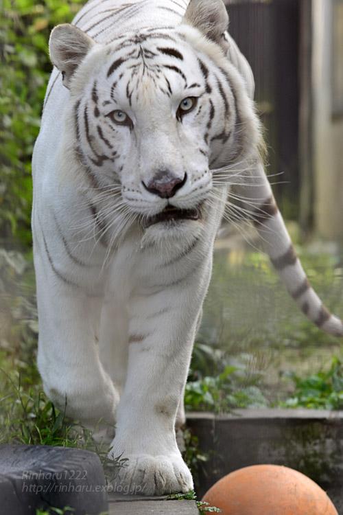 2017.10.1 宇都宮動物園☆ホワイトタイガーのアース王子【White tiger】_f0250322_21434177.jpg