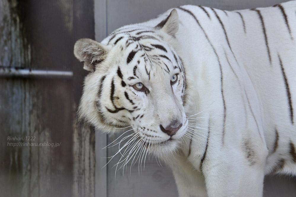 2017.10.1 宇都宮動物園☆ホワイトタイガーのアース王子【White tiger】_f0250322_21434661.jpg