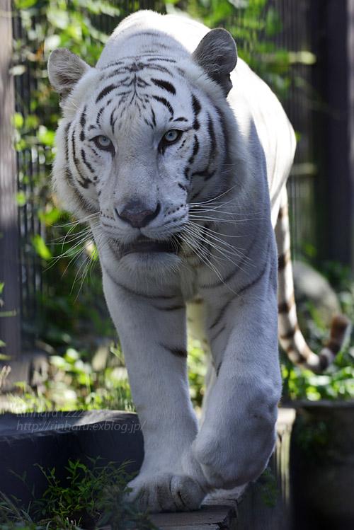 2017.10.1 宇都宮動物園☆ホワイトタイガーのアース王子【White tiger】_f0250322_21443040.jpg