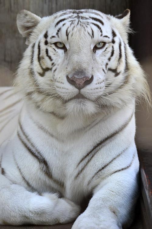 2017.10.1 宇都宮動物園☆ホワイトタイガーのアース王子【White tiger】_f0250322_21445237.jpg