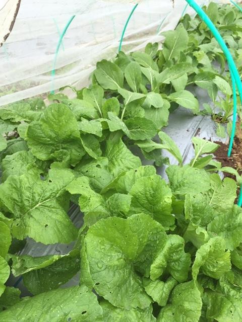 毎日 播種です 今日はレタスを中心にアスパラ菜の追い播きです_c0222448_14271407.jpg