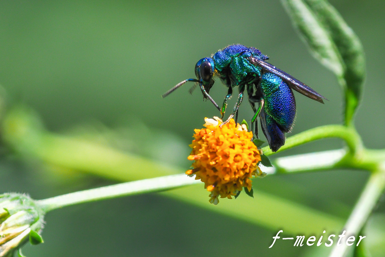 とある公園の幸せを呼ぶ青い蜂??????(2017年9月29日)_d0359405_20435645.jpg