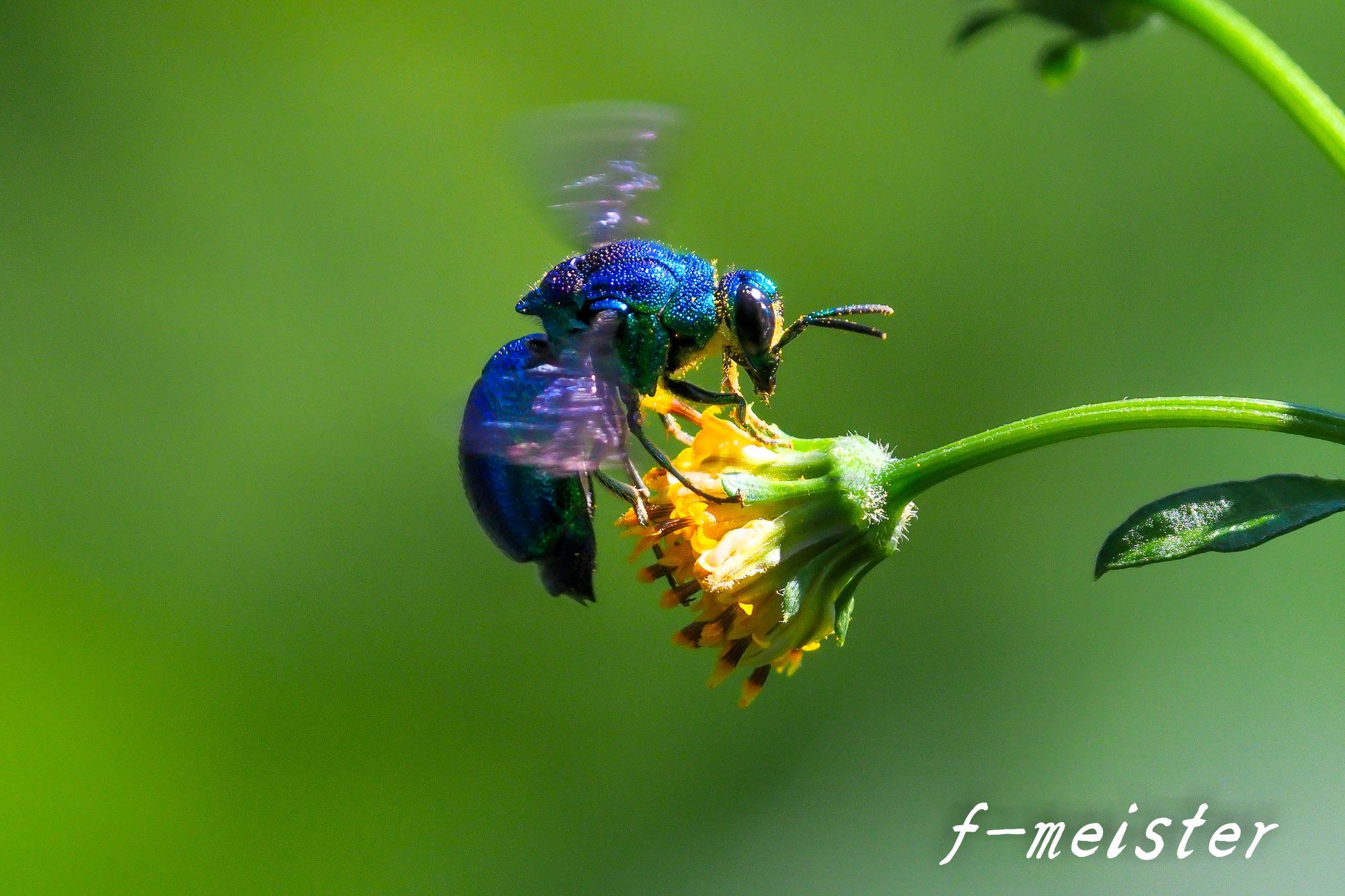 とある公園の幸せを呼ぶ青い蜂??????(2017年9月29日)_d0359405_20440556.jpg