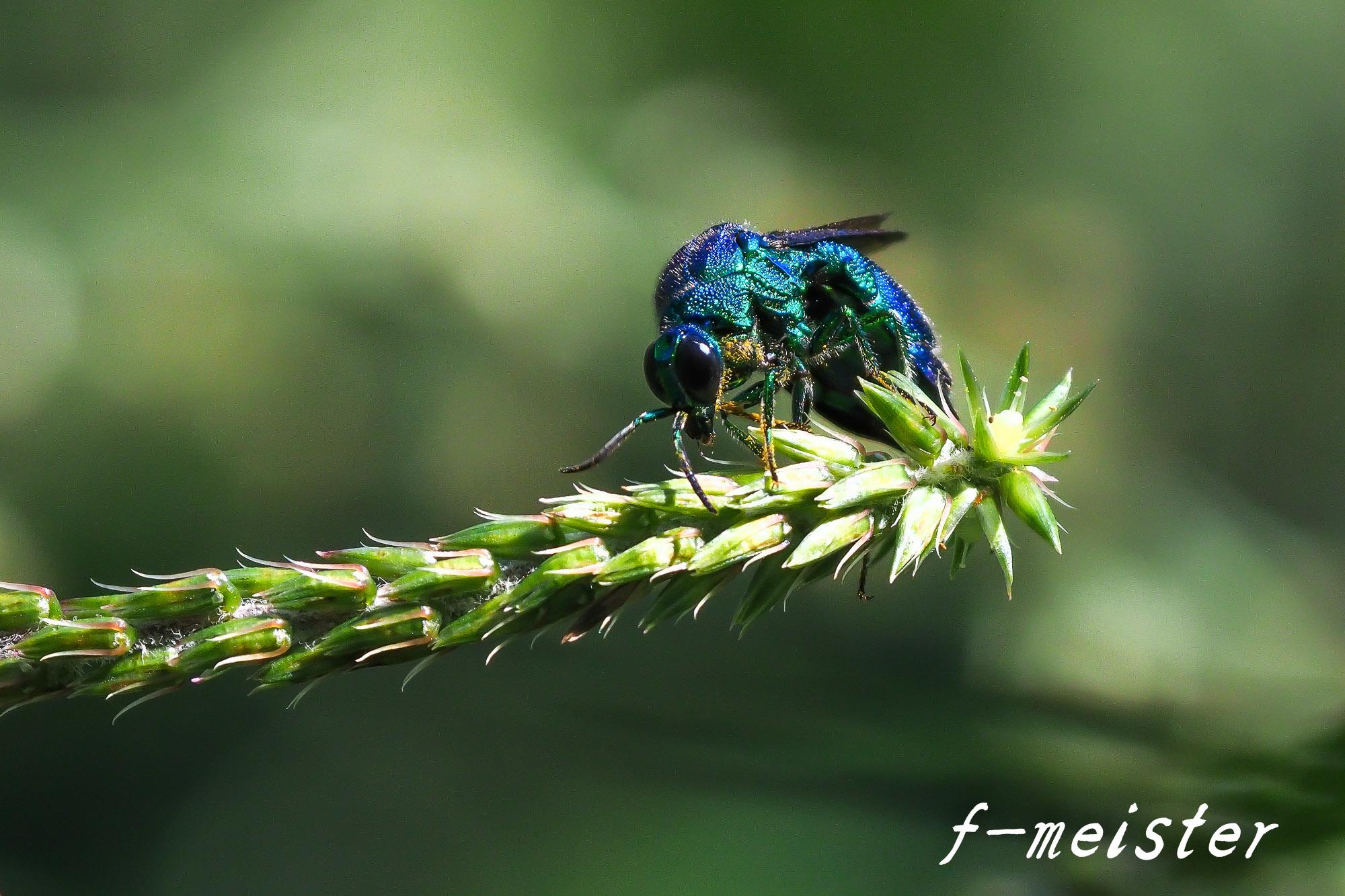 とある公園の幸せを呼ぶ青い蜂??????(2017年9月29日)_d0359405_20440950.jpg
