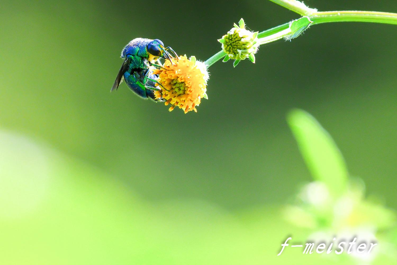とある公園の幸せを呼ぶ青い蜂??????(2017年9月29日)_d0359405_20455406.jpg