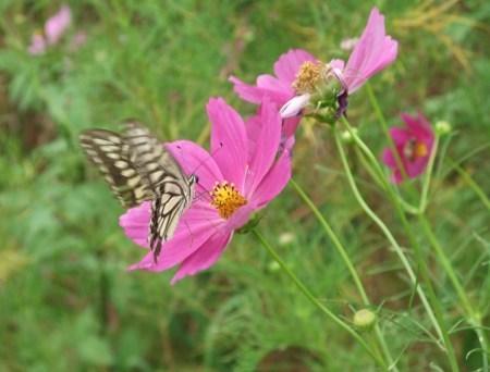 秋桜は超(蝶)満開..._b0137932_15404843.jpg