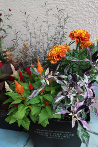 秋の花苗販売のお知らせ♪_e0086738_16260226.jpg