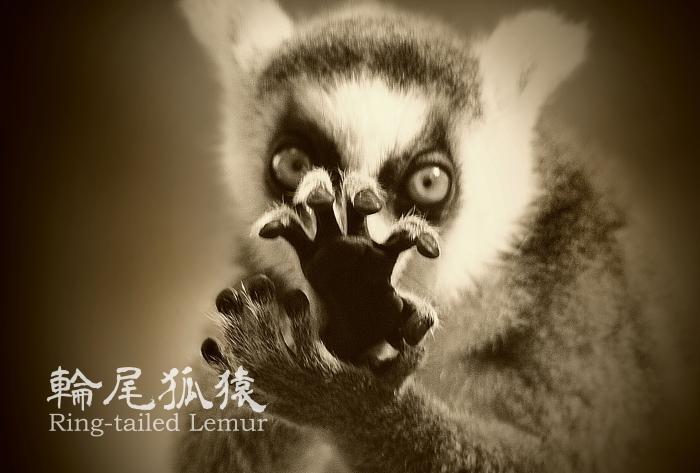 ワオキツネザル:Ring-tailed Lemur_b0249597_05575895.jpg