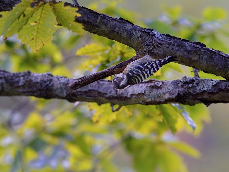 山小屋から鳥見(5)(ケラ類/カラ類)_a0204089_6381395.jpg