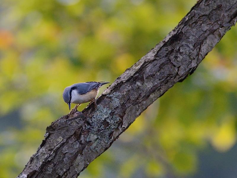 山小屋から鳥見(5)(ケラ類/カラ類)_a0204089_6382048.jpg