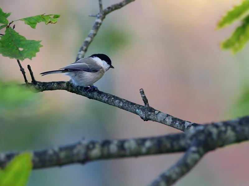 山小屋から鳥見(5)(ケラ類/カラ類)_a0204089_6382670.jpg