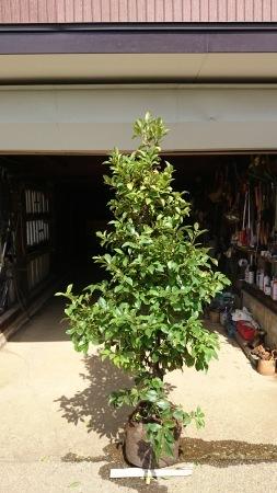 カラタネオガタマ (バナナツリー)_e0202111_00042700.jpg