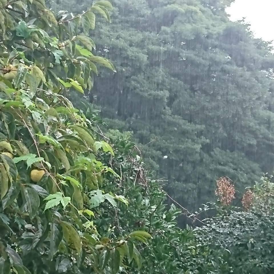 「青紫蘇の実の塩漬け」作り「柿ジャム」作りと、栗の渋皮煮の販売開始。_a0125419_06423693.jpg