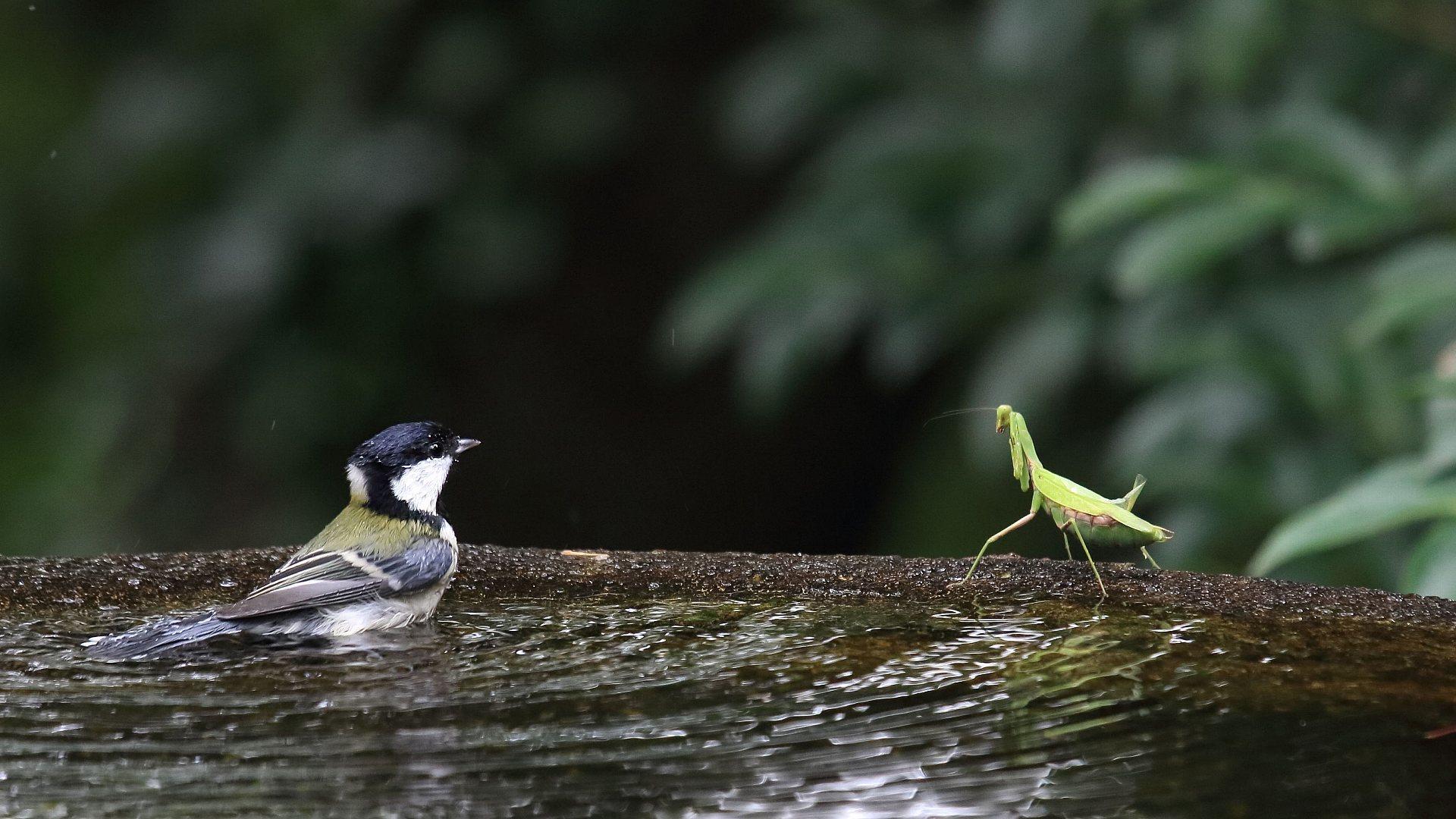 シジュウカラと蟷螂の睨み合い_f0105570_21130574.jpg