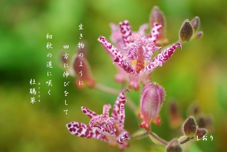 秋の散歩道「杜鵑草ほか」_c0187781_21255469.jpg