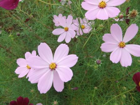 秋桜は超(蝶)満開..._b0137932_17361123.jpg