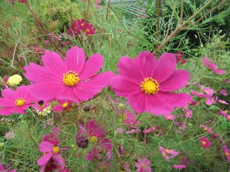 秋桜は超(蝶)満開..._b0137932_17374262.jpg