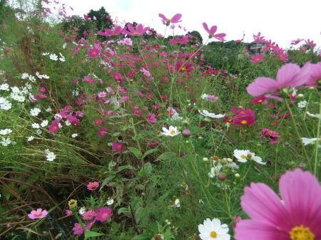 秋桜は超(蝶)満開..._b0137932_18100358.jpg
