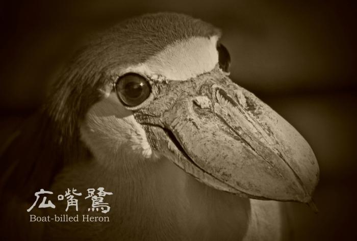 ヒロハシサギ:Boat-billed Heron_b0249597_08085748.jpg