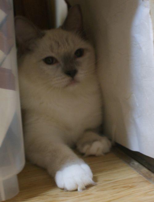 ラグドールの子猫ちゃん ブルーポイントミテッド男の子  3月30日生まれ_e0033609_19072454.jpg