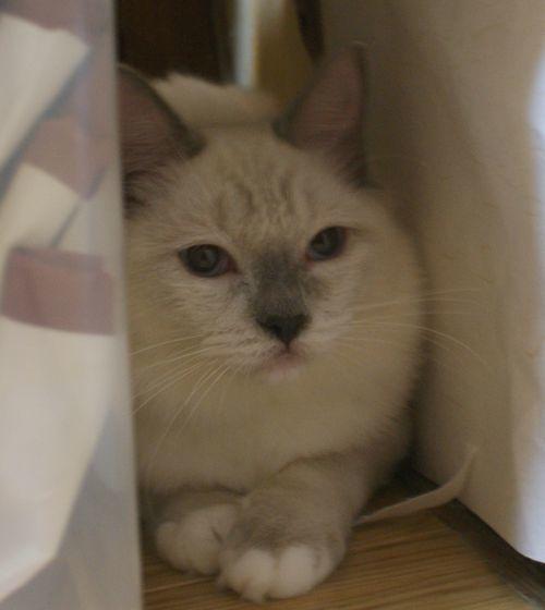 ラグドールの子猫ちゃん ブルーポイントミテッド男の子  3月30日生まれ_e0033609_19073736.jpg