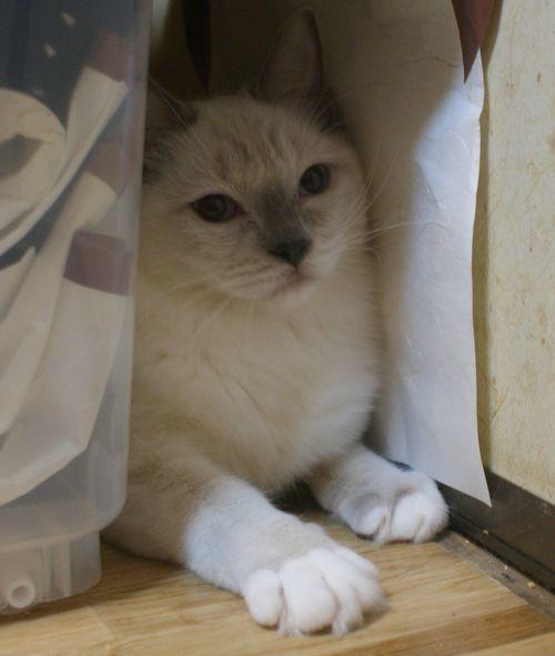ラグドールの子猫ちゃん ブルーポイントミテッド男の子  3月30日生まれ_e0033609_19074585.jpg