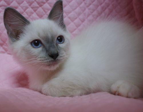 ラグドールの子猫ちゃん ブルーポイントミテッド男の子  3月30日生まれ_e0033609_19075379.jpg