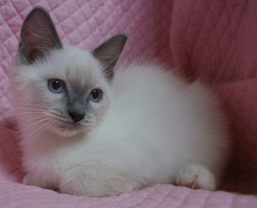 ラグドールの子猫ちゃん ブルーポイントミテッド男の子  3月30日生まれ_e0033609_19075970.jpg