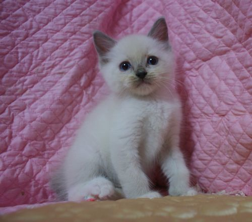 ラグドールの子猫ちゃん ブルーポイントミテッド男の子  3月30日生まれ_e0033609_19090996.jpg