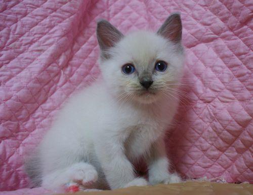 ラグドールの子猫ちゃん ブルーポイントミテッド男の子  3月30日生まれ_e0033609_19092462.jpg