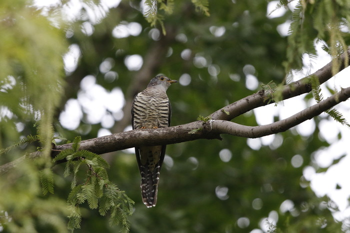 渡りの立ち寄りの鳥を その7(カッコウ)_f0239515_19215658.jpg