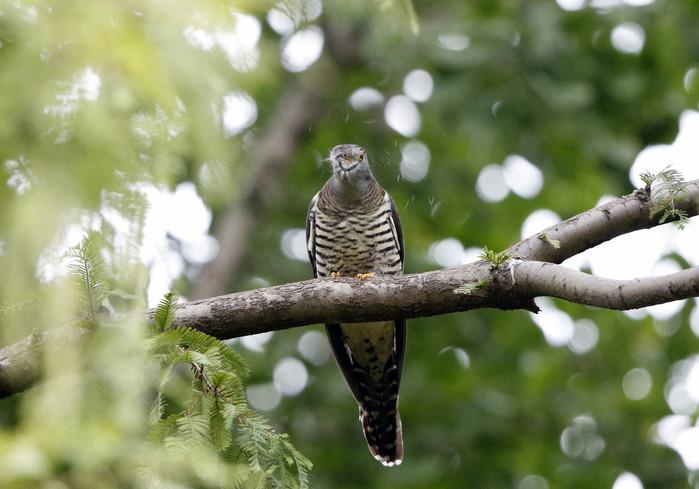 渡りの立ち寄りの鳥を その7(カッコウ)_f0239515_19265024.jpg