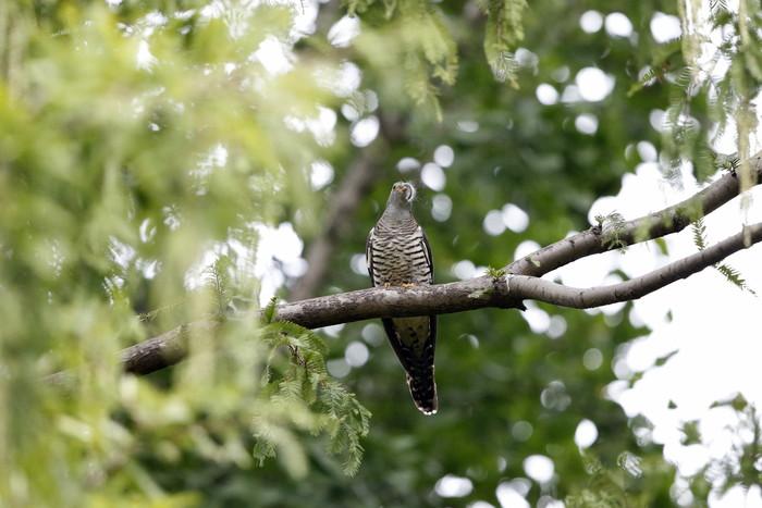 渡りの立ち寄りの鳥を その7(カッコウ)_f0239515_1927334.jpg