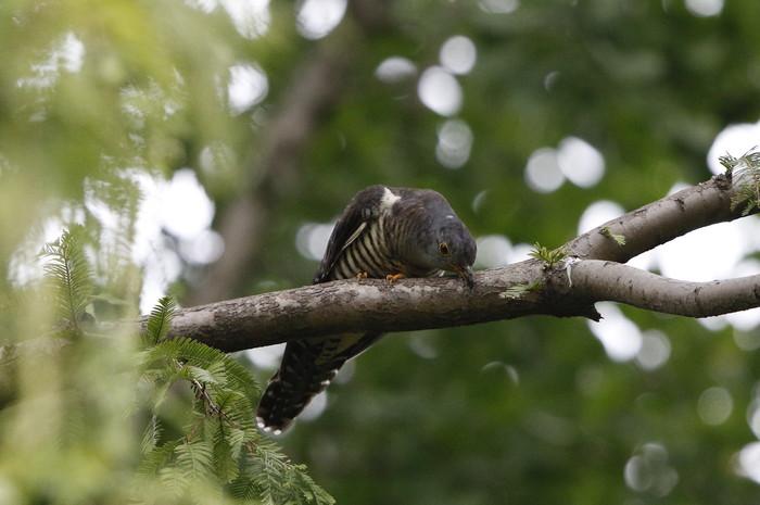 渡りの立ち寄りの鳥を その7(カッコウ)_f0239515_19283478.jpg