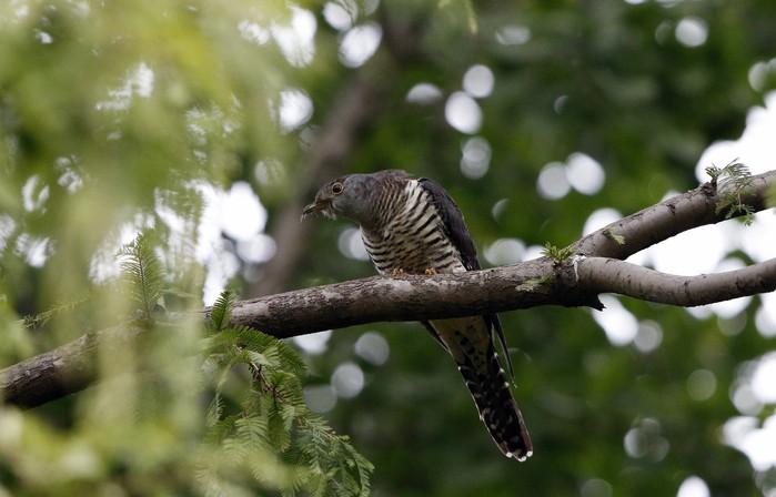 渡りの立ち寄りの鳥を その7(カッコウ)_f0239515_19294597.jpg