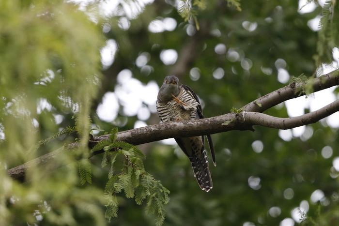 渡りの立ち寄りの鳥を その7(カッコウ)_f0239515_19315390.jpg