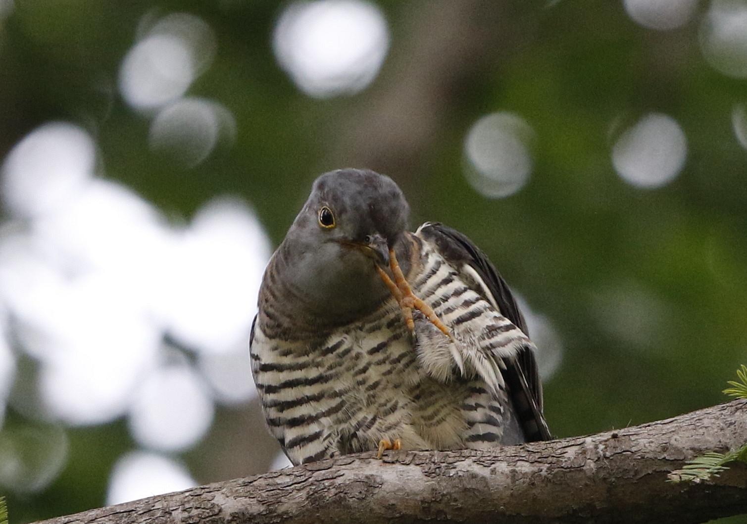 渡りの立ち寄りの鳥を その7(カッコウ)_f0239515_19323537.jpg