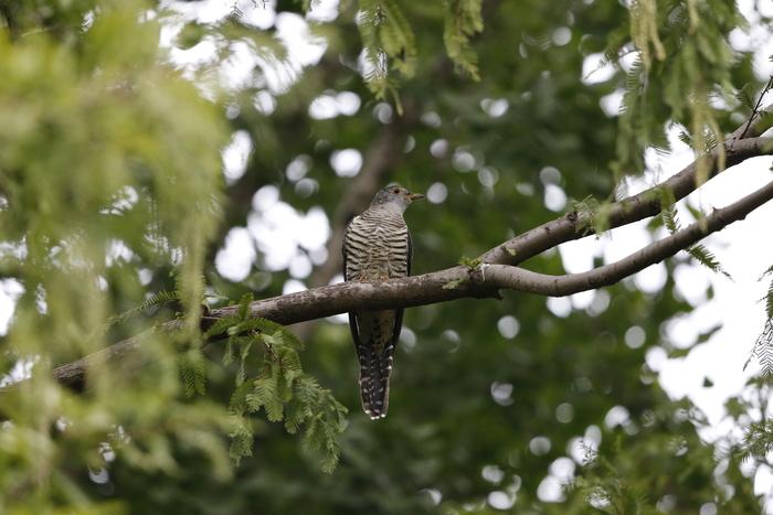 渡りの立ち寄りの鳥を その7(カッコウ)_f0239515_19372459.jpg