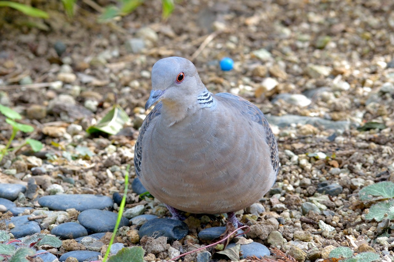 いつもの庭にくる鳩_c0330563_16553532.jpg
