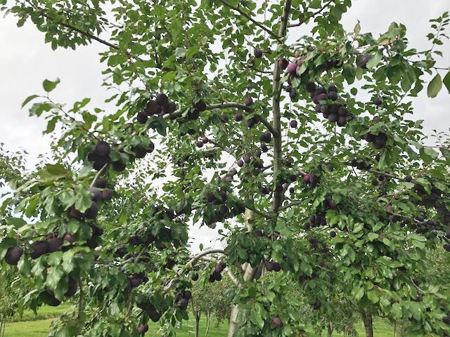 収穫の秋/プルーン_c0189970_17300268.jpg