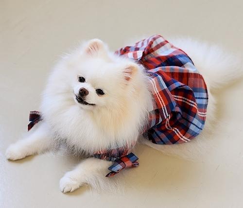 ポメに服は似合わない?_d0360206_00123022.jpg