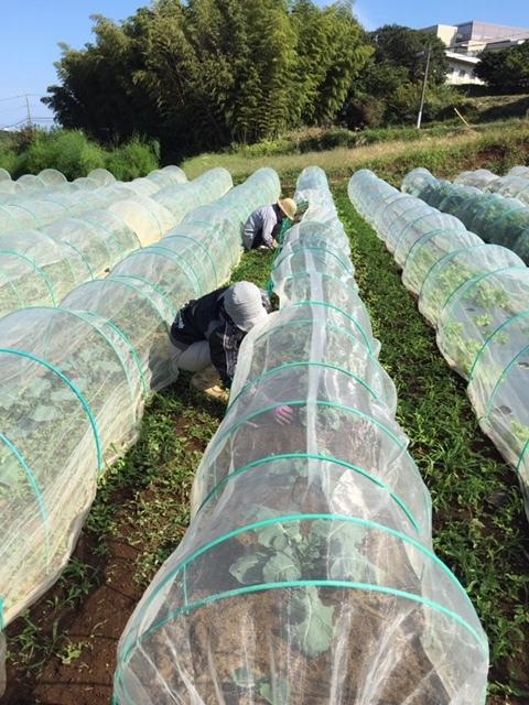 今日はカステルフランコの畝作りと播種 ブロッコリーカリフラワー ロマネスコ 芽キャベツの畝の雑草取り_c0222448_16351619.jpg
