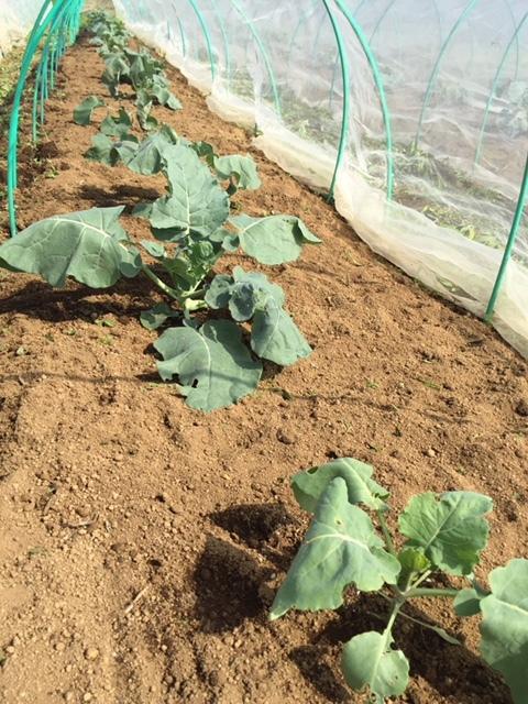 今日はカステルフランコの畝作りと播種 ブロッコリーカリフラワー ロマネスコ 芽キャベツの畝の雑草取り_c0222448_16364414.jpg