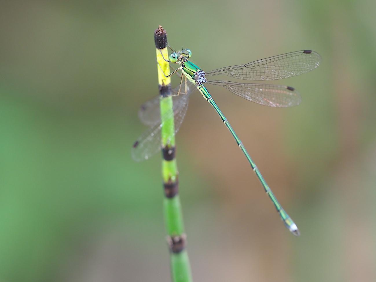 300ミリで撮ってみたトンボと蝶(2017年10月6日)_d0303129_14282944.jpg