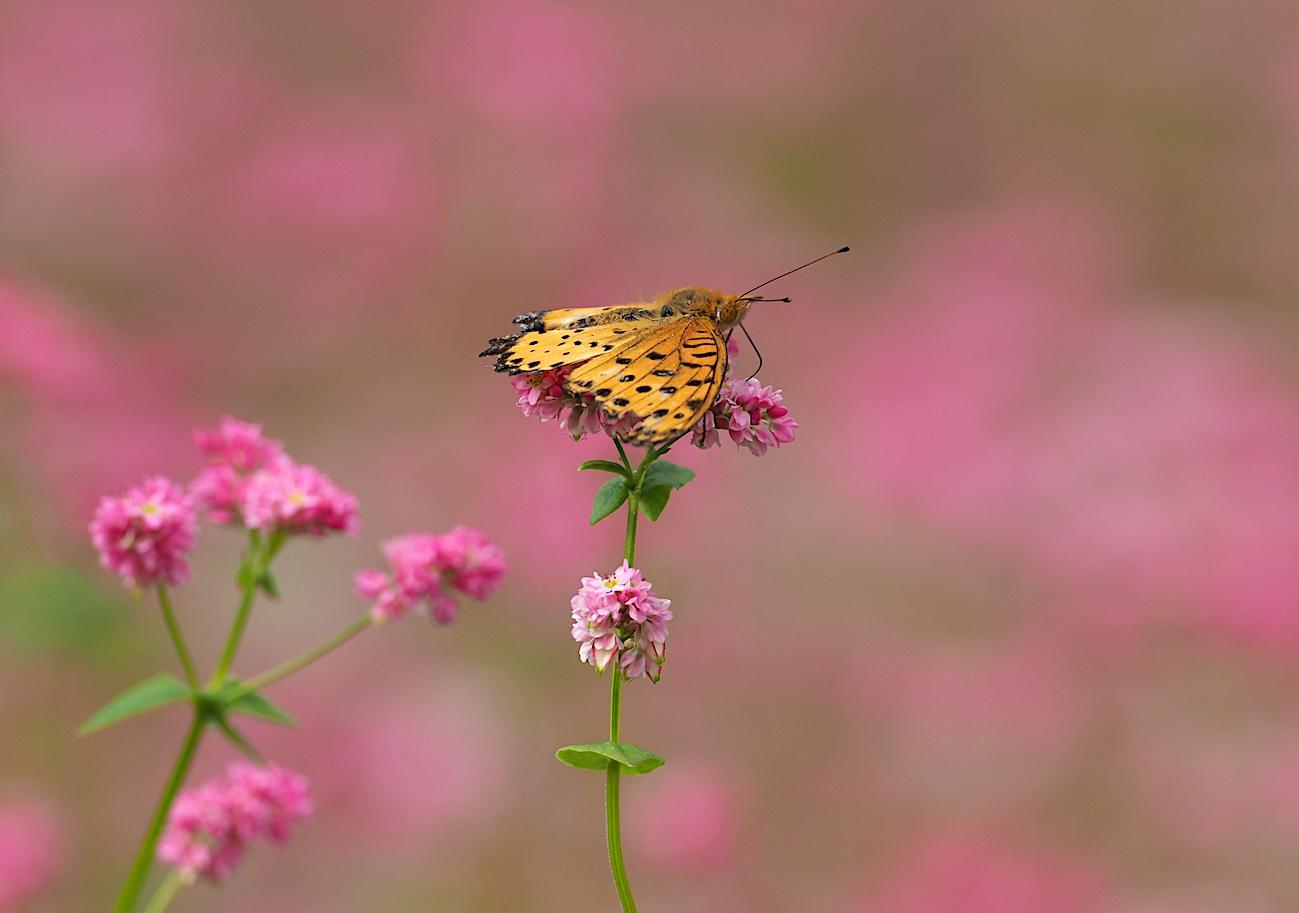300ミリで撮ってみたトンボと蝶(2017年10月6日)_d0303129_14291523.jpg